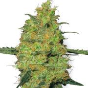plant Critical Skunk Feminized Marijuana Seeds Cranbrook