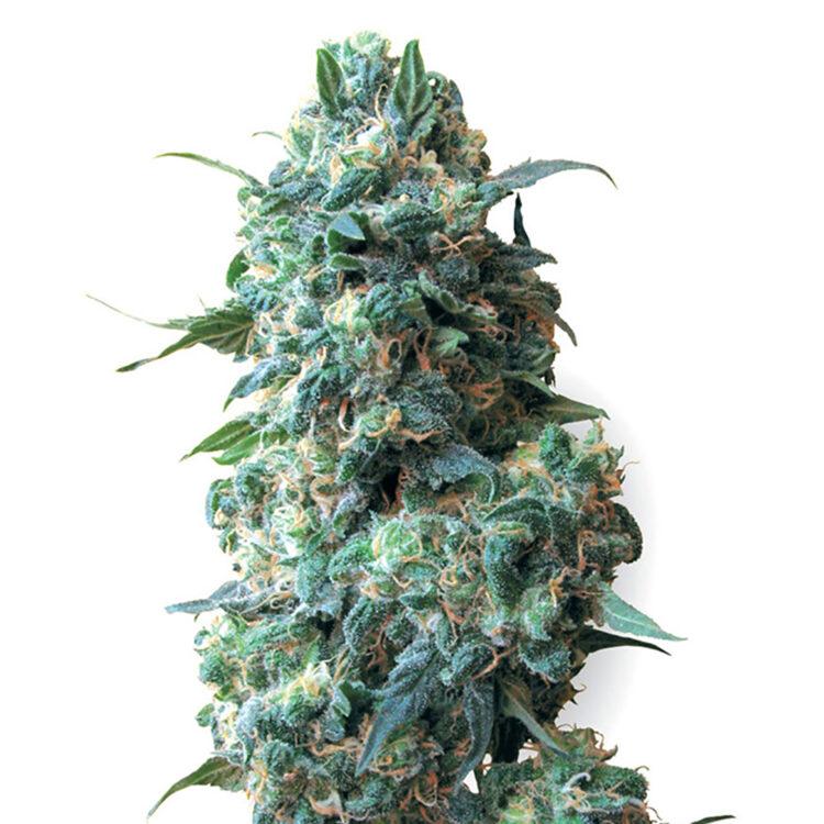 plant Zombie Kush Feminized Marijuana Seeds Vaughan