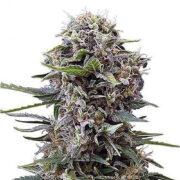 plant Purple Sage Autoflowering Feminized Marijuana Seeds Laval