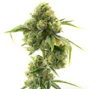 plant Tigermelon Autofloweing Feminized Marijuana Seeds Brampton