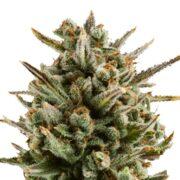 plant Capers Feminized Marijuana Seeds Barrie