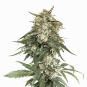 plant Skywalker Alien Feminized Marijuana Seeds Greater Sudbury
