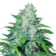 plant Night Train Autoflowering Feminized Marijuana Seeds Sherbrooke