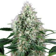 plant Ortega Autoflowering Feminized Marijuana Seeds St. Catharines