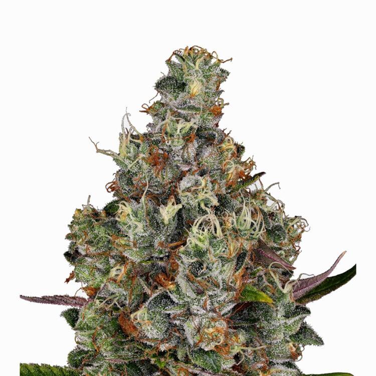 plant Agent Tangie Autoflowering Feminized Marijuana Seeds Toronto