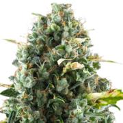 plant Jungle Juice Feminized Marijuana Seeds Dieppe