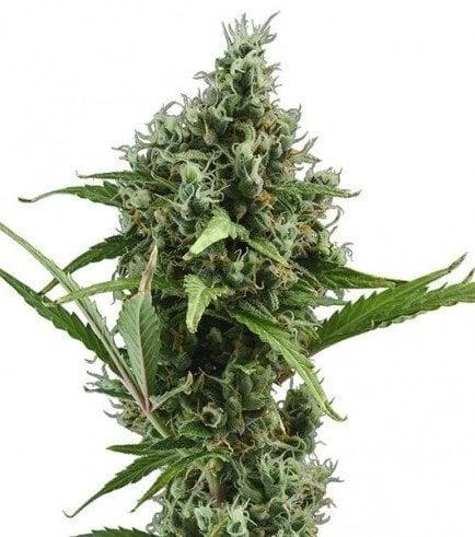 plant Dizzy OG Autoflowering Feminized Marijuana Seeds Bathurst