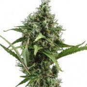 plant China Yunnan Autoflowering Feminized Marijuana Seeds Campbell River
