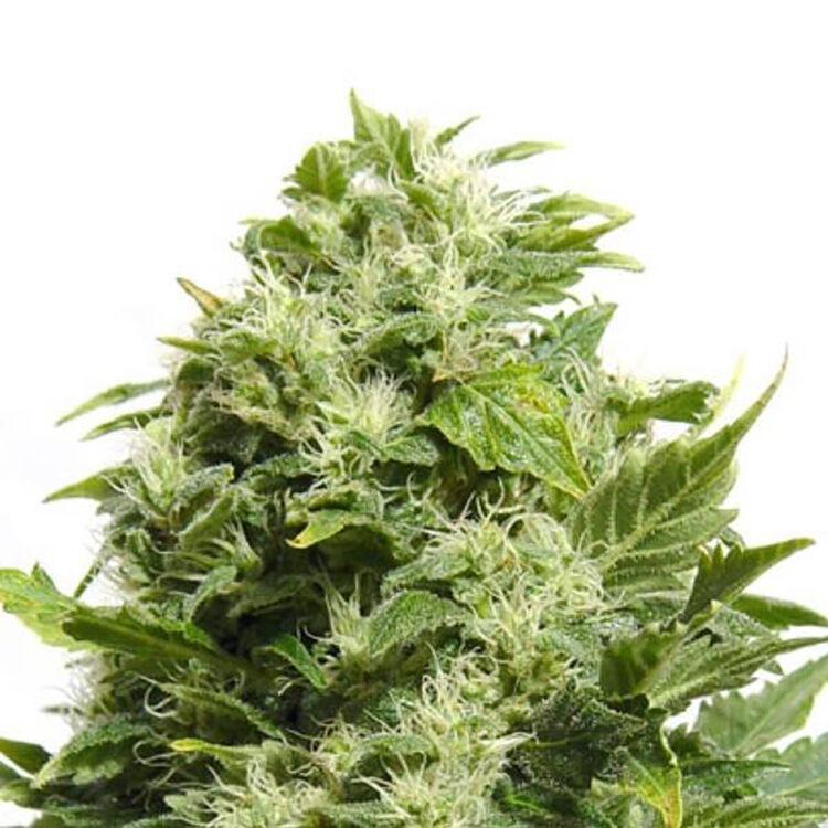 plant Jane Doe Feminized Marijuana Seeds Miramichi