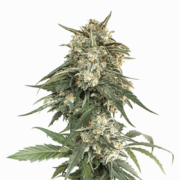 plant Biddy Early Feminized Marijuana Seeds Castlegar