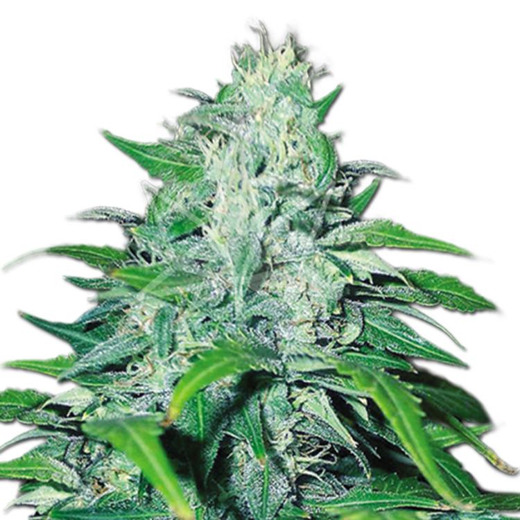 plant Turbo Mind Warp Autoflowering Feminized Marijuana Seeds Leduc