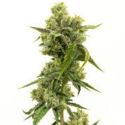 plant Tahoe Hydro OG Feminized Marijuana Seeds Courtenay