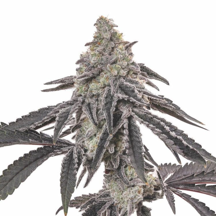 plant Blackberry Hashplant Feminized Marijuana Seeds Airdrie