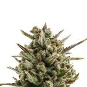 plant Hercules Feminized Marijuana Seeds Portage la Prairie