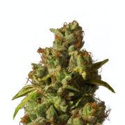plant Afcrack Feminized Marijuana Seeds Barrie