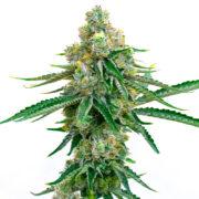 plant Big Kush Feminized Marijuana Seeds Dieppe