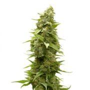 plant Tembo Kush Autoflowering Feminized Marijuana Seeds Camrose