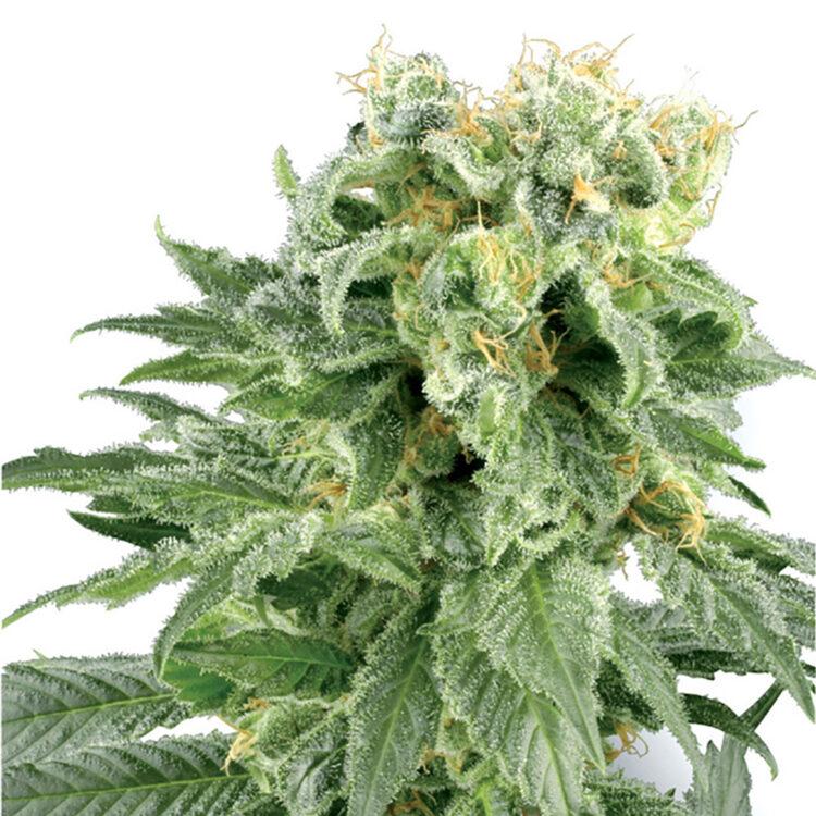 plant Big Smooth Feminized Marijuana Seeds Martensville