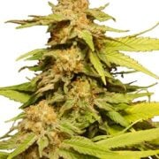 plant Rob Ford Kush Feminized Marijuana Seeds Brantford