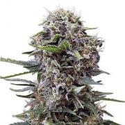 plant Brooklyn Mango Feminized Marijuana Seeds Burlington