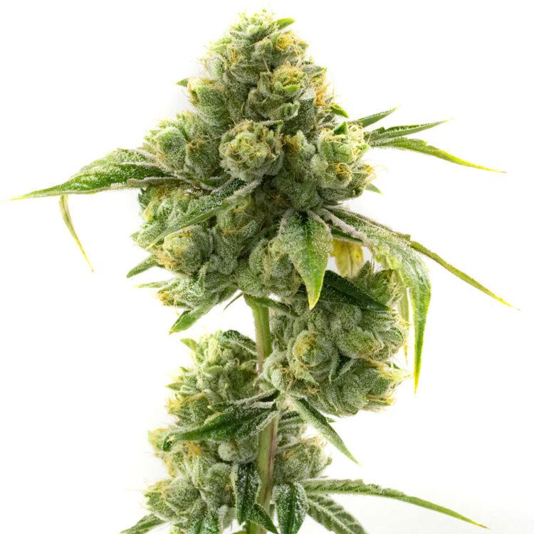 plant Pineapple Purple Skunk Feminized Marijuana Seeds Grand Forks