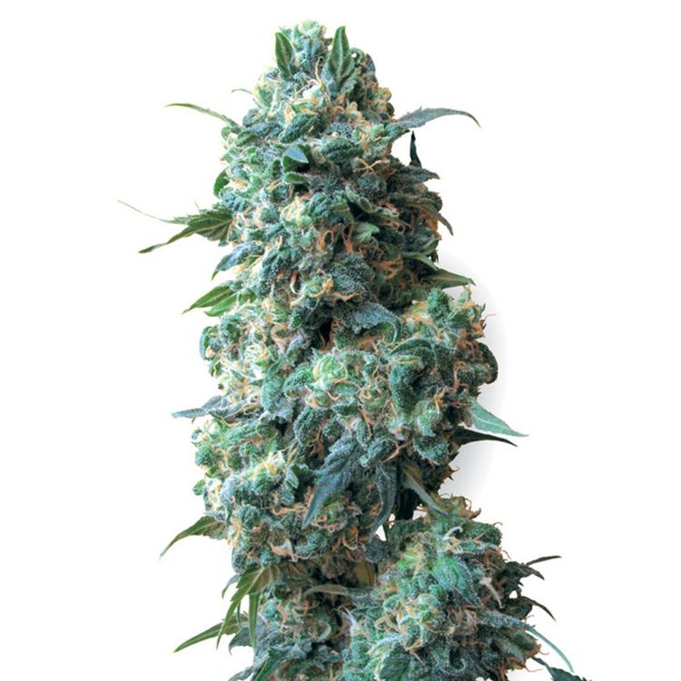 plant Bear Dance Autoflowering Feminized Marijuana Seeds Cold Lake
