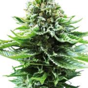 plant Green Line OG Autoflowering Feminized Marijuana Seeds Winkler