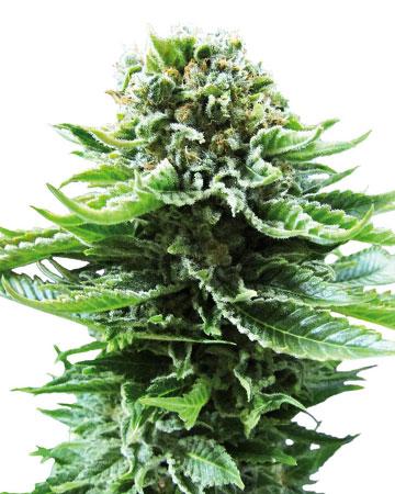 plant X-Files Autoflowering Feminized Marijuana Seeds Moncton