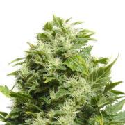 plant Green Door Kush Feminized Marijuana Seeds Portage la Prairie