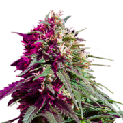 plant Highwayman Feminized Marijuana Seeds Brandon