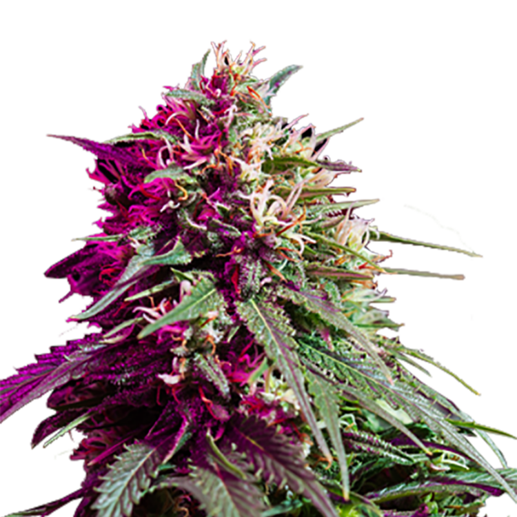 plant Glass Apple Feminized Marijuana Seeds Castlegar