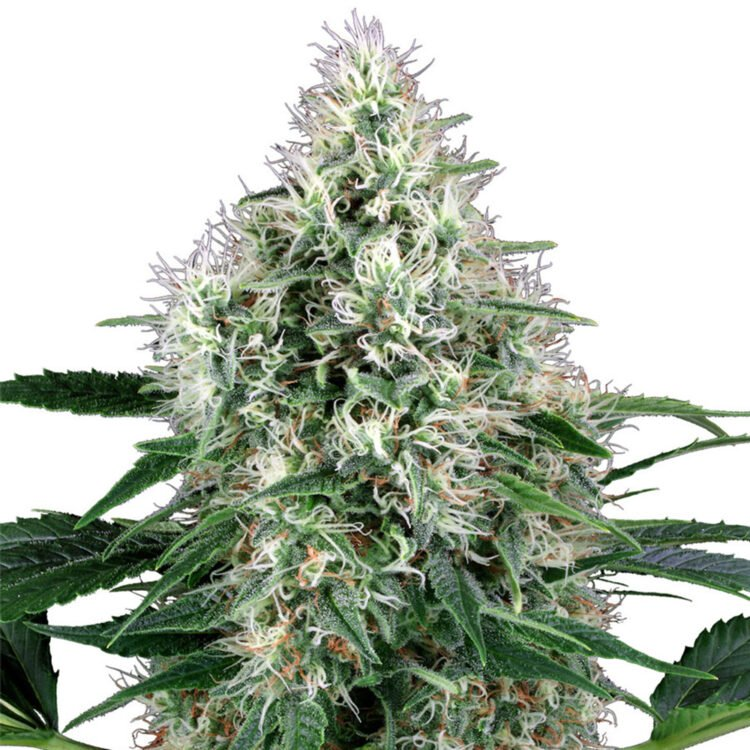 plant WTF Autoflowering Feminized Marijuana Seeds Estevan