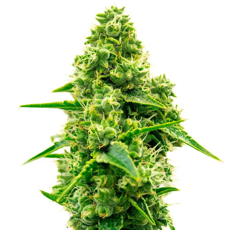plant L.A. Sunshine Autoflowering Feminized Marijuana Seeds Saskatoon
