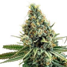 plant Snow Diesel Feminized Marijuana Seeds Dryden