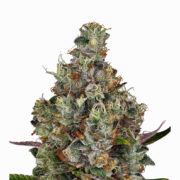 plant Strawberry Milkshake Feminized Marijuana Seeds Lacombe