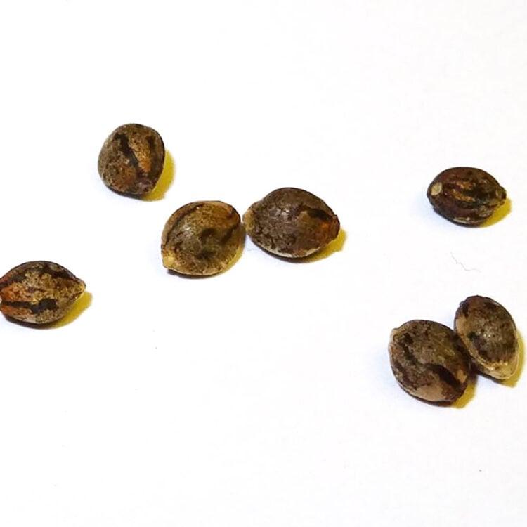 order Queso Autoflowering Feminized Marijuana Seeds Winnipeg