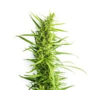 order Grape Soda Autoflowering Feminized Marijuana Seeds Brandon