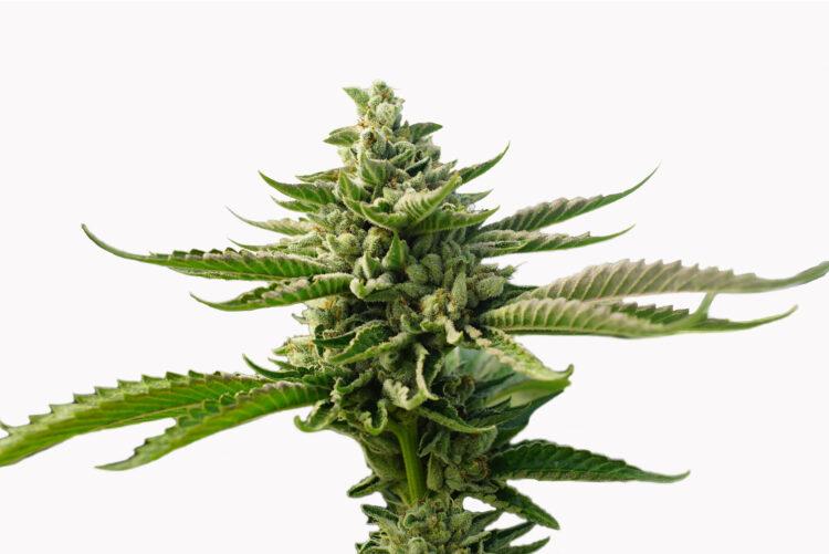plant Gupta Kush Autoflowering Feminized Marijuana Seeds Morden