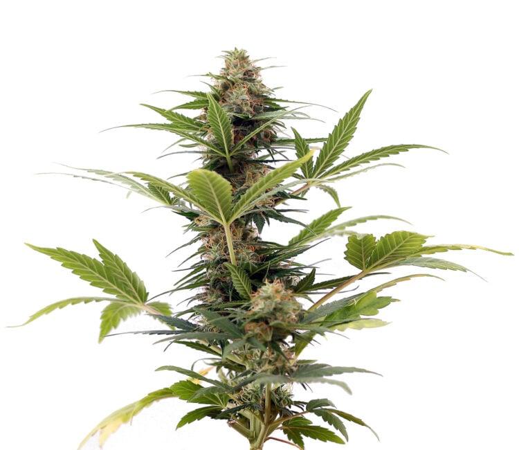 plant LA Jack Feminized Marijuana Seeds Calgary