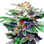 purchase Blue Galaxy Autoflowering Feminized Marijuana Seeds Cold Lake