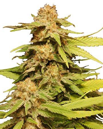 plant Maui Pineapple Chunk Feminized Marijuana Seeds Thompson