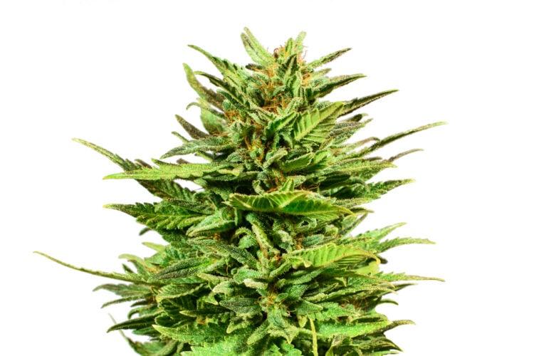 on sale Ape Shit Feminized Marijuana Seeds Airdrie