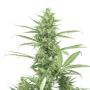 plant Sweet Nina Autoflowering Feminized Marijuana Seeds Campbellton